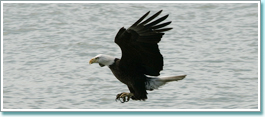 Bird watching, Bald Eagle